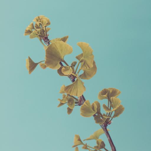 银杏 落叶乔木 枝叶
