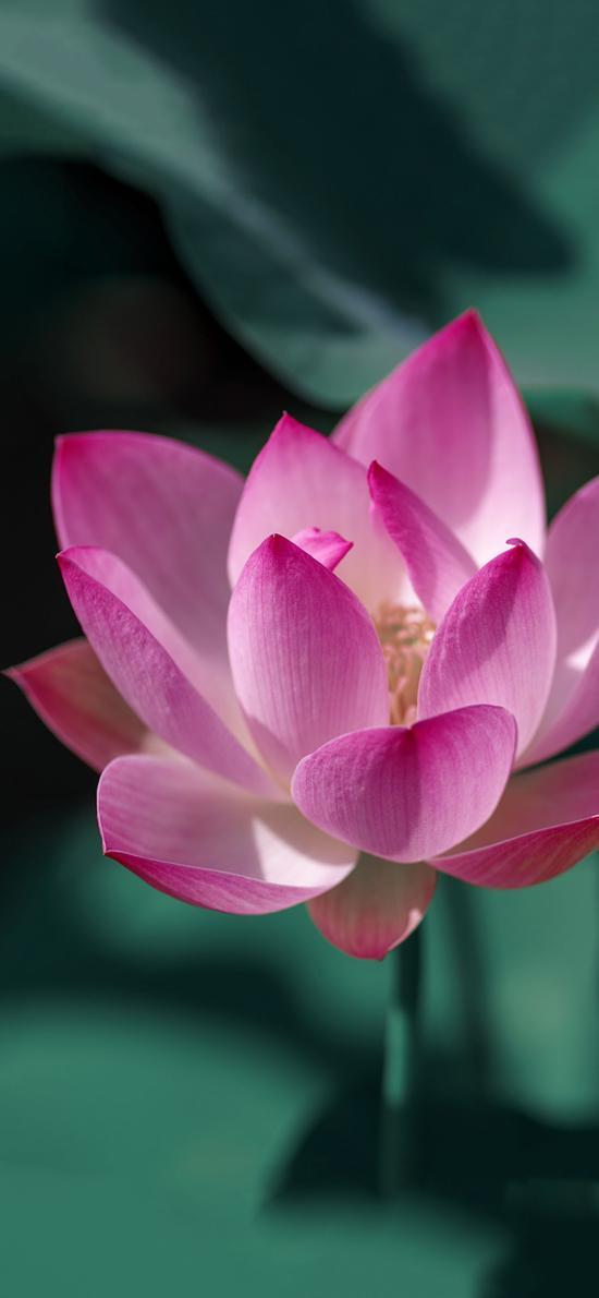 荷花 鲜花 盛开 荷叶 唯美