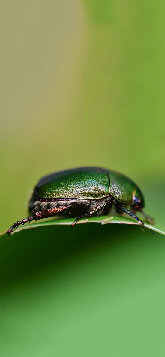 绿叶 铜绿丽金龟 害虫 昆虫