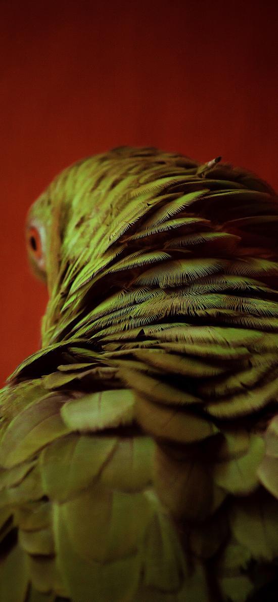 鹦鹉 鸟类 羽毛 后颈