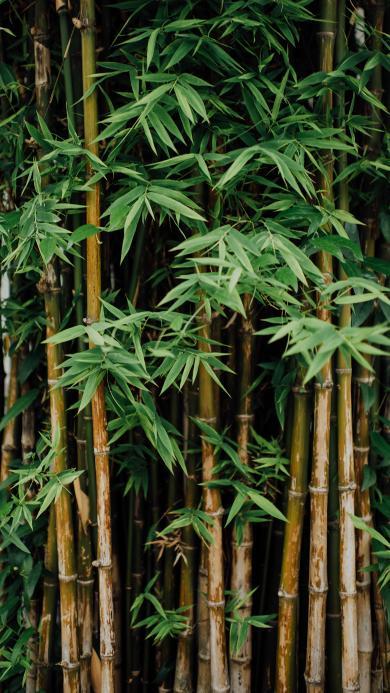 竹林 竹叶 密集 生长
