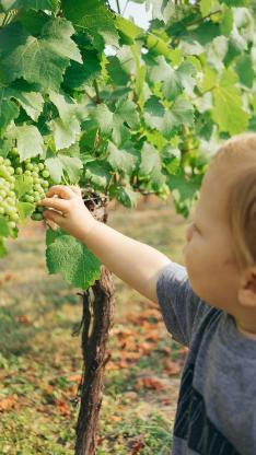 绿植 葡萄 藤蔓 绿叶 采摘