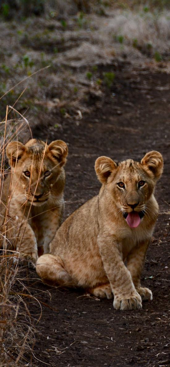 狮子 幼仔 野外 吐舌