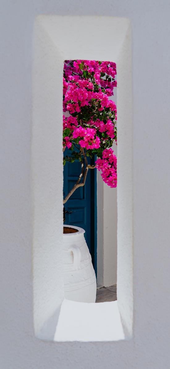 植株 鲜花 三角梅 玫红色
