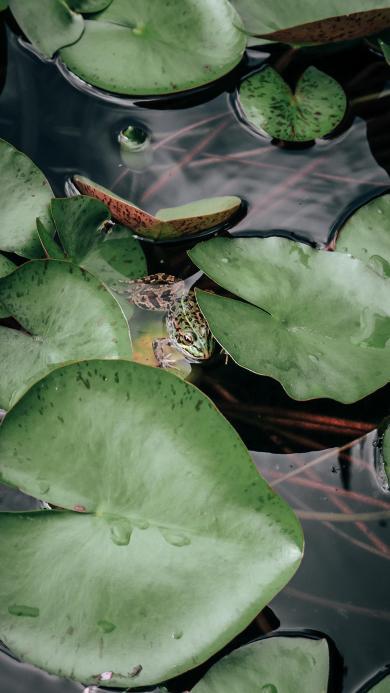 橘色 荷塘 喝呀 青蛙 隐秘