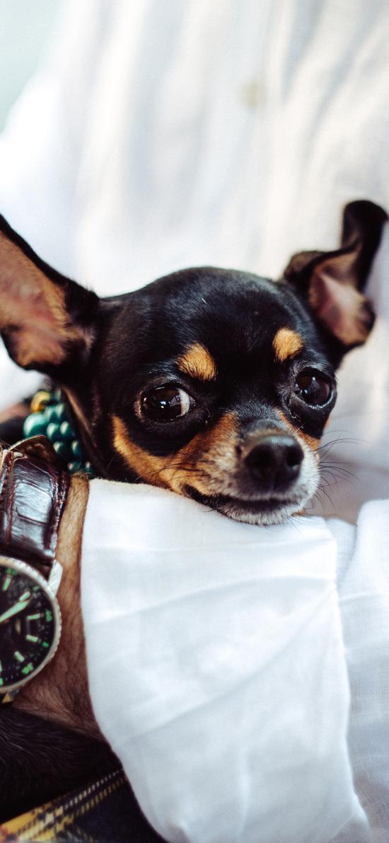 吉娃娃 宠物 狗 犬 汪星人 可爱