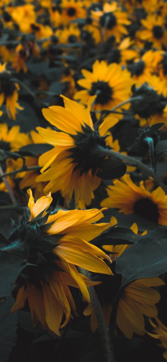 景色  花丛 向日葵 密集 种植