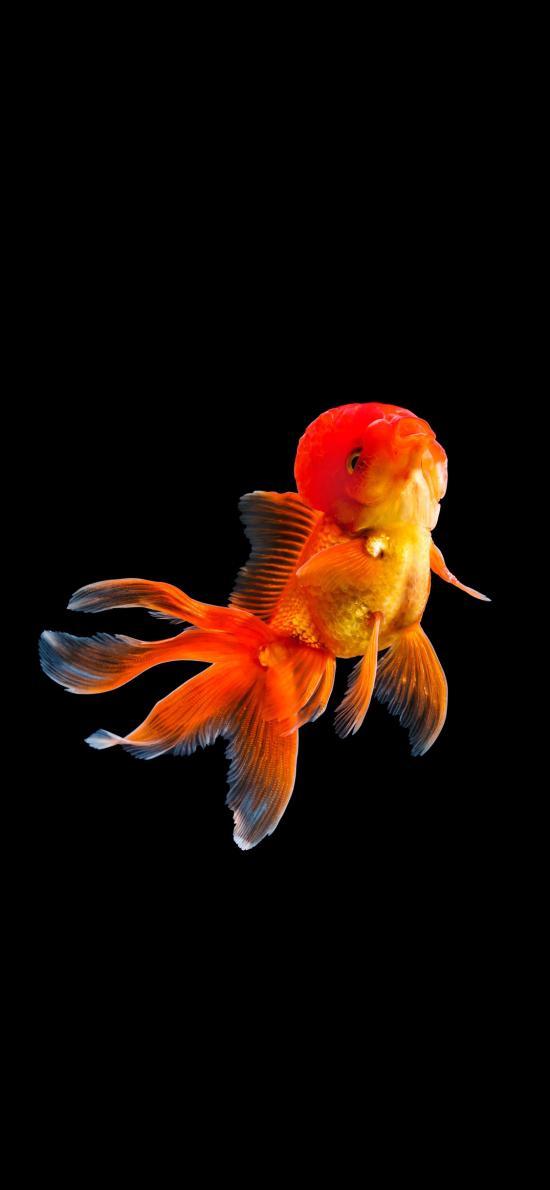 金鱼 黑暗 尾巴 美丽 游动