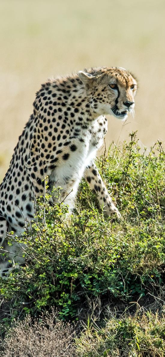 郊外 草丛 猎豹 狩猎