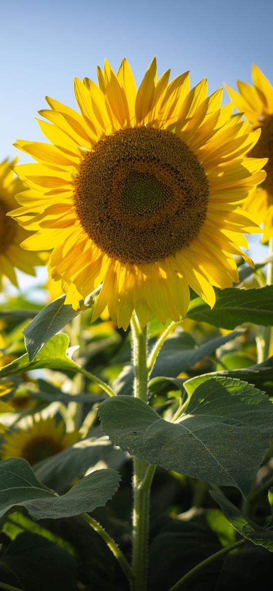 向日葵 葵花 种植 阳光