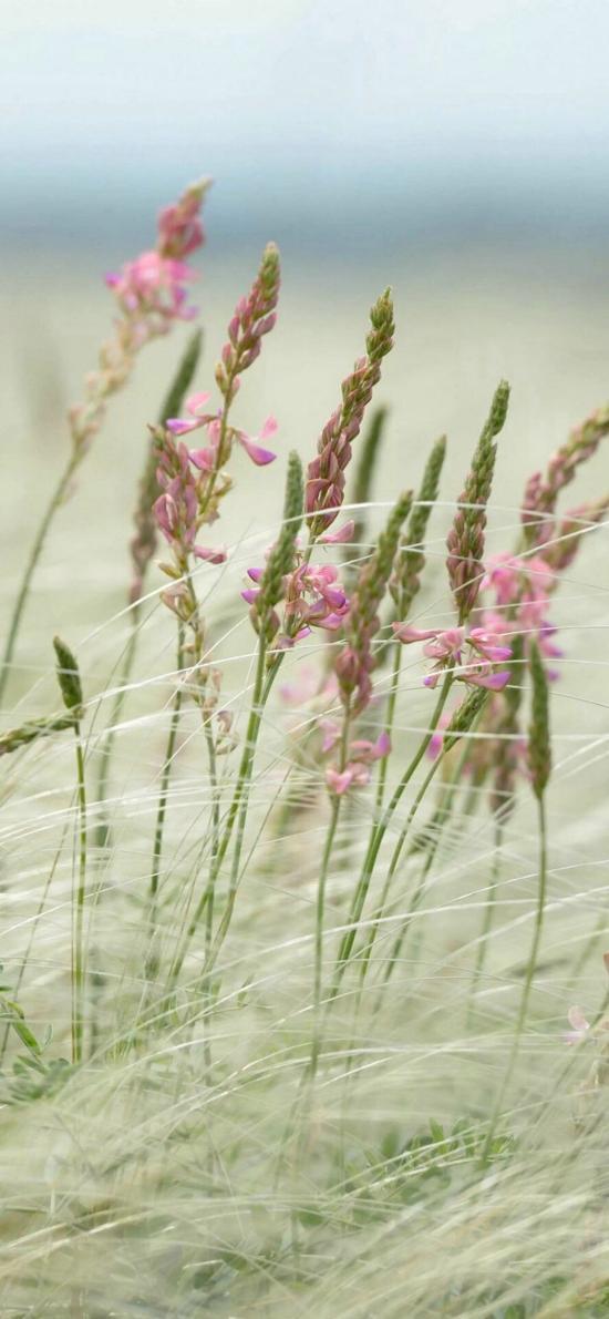 郊外 红豆草 驴食草 粉色小花