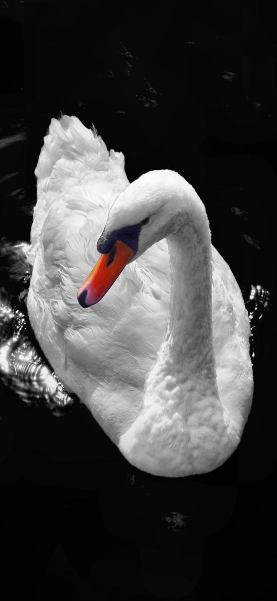 天鹅 黑白 羽毛 湖水 翅膀