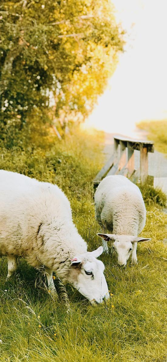 绵羊 草原 牲畜 皮毛