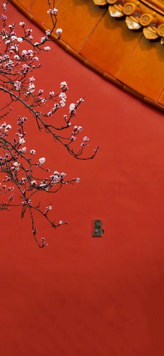 杏花 红墙 故宫 枝头 鲜花 盛开