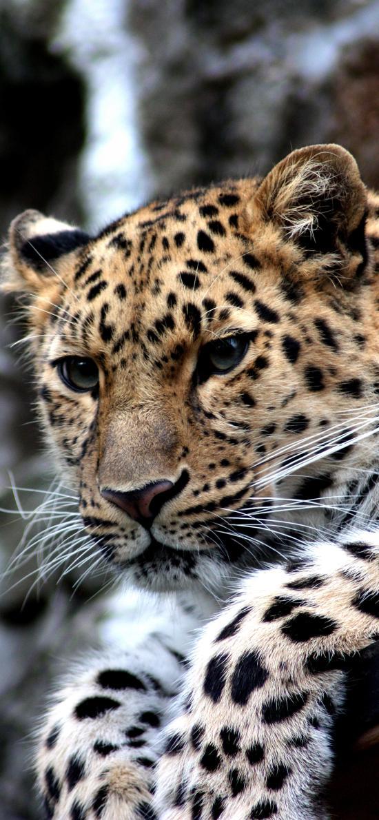 豹 凶猛 猛兽 花纹