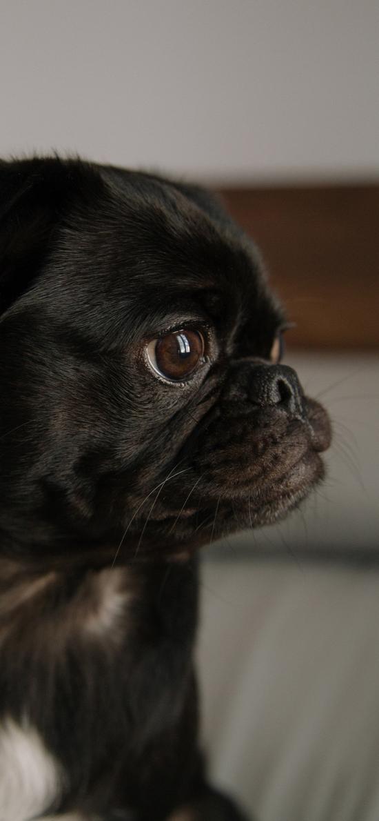巴哥 宠物 黑狗 侧头
