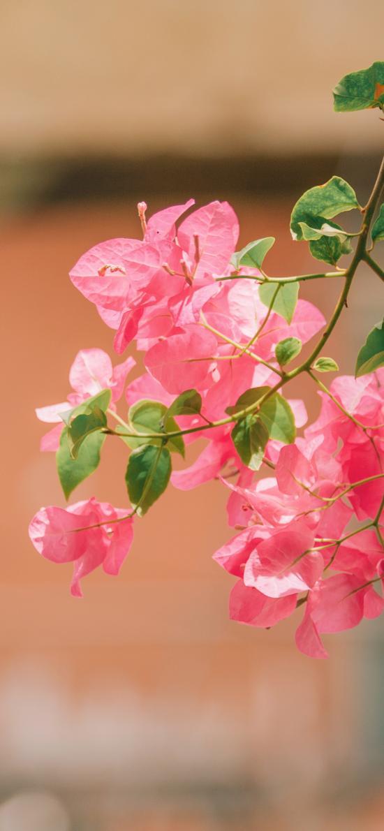 勒杜鹃 三角梅 枝叶 枝头 鲜花 盛开