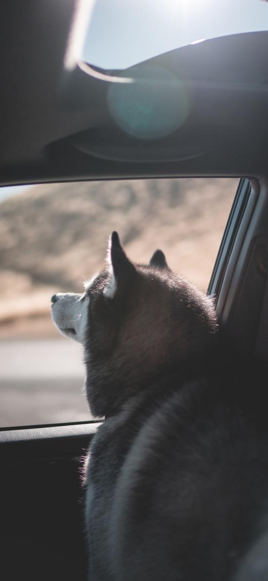 宠物狗 阿拉斯加犬 大型犬