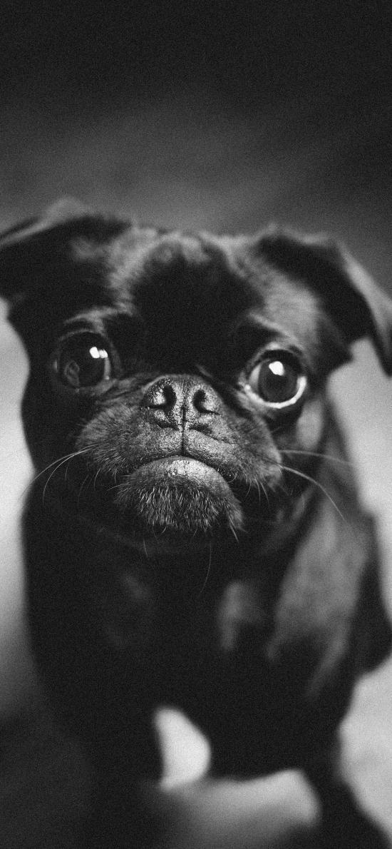 宠物 黑狗 斗牛 大眼