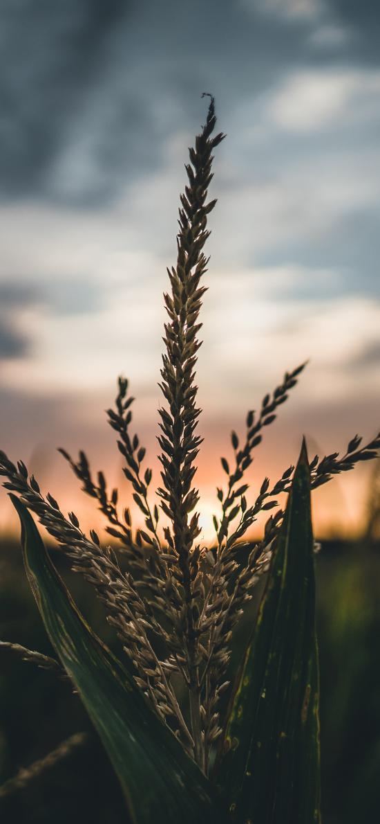粮食 植株 玉米杆 叶子