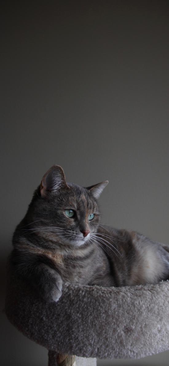猫咪 宠物 灰猫 猫架