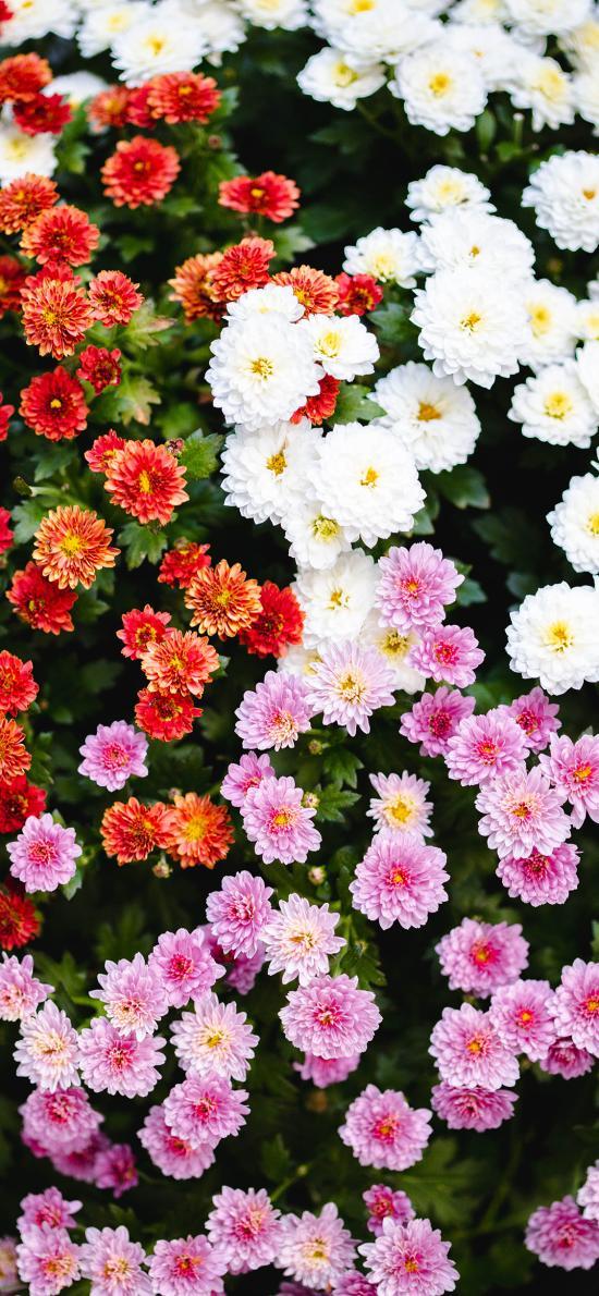菊花 密集 生长 盛开
