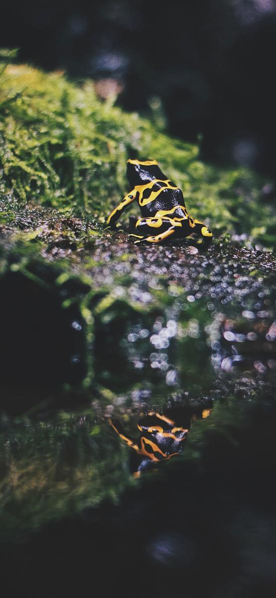 黄带箭毒蛙 草地苔藓 蛙类