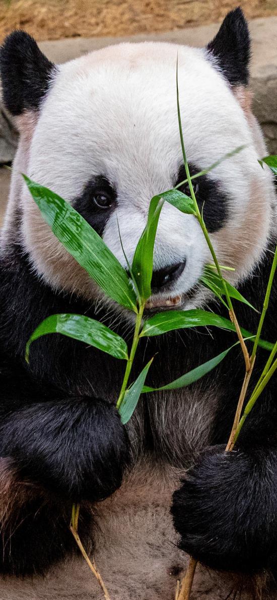 熊猫 竹叶 国宝 觅食