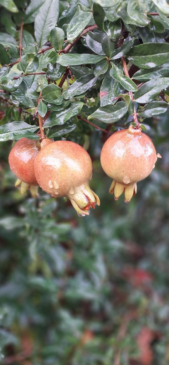 石榴 结果 果子 枝叶