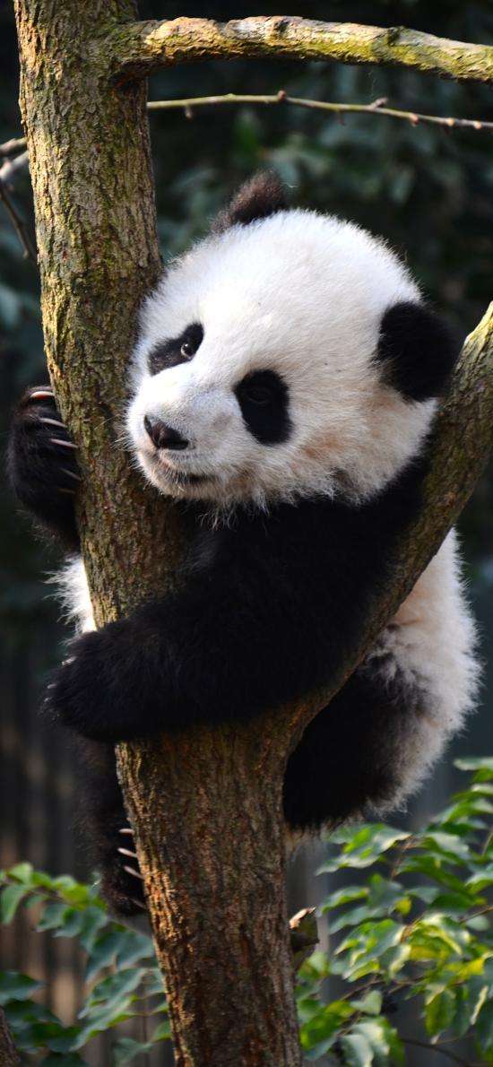 熊猫 国宝 树杈 可爱 皮毛
