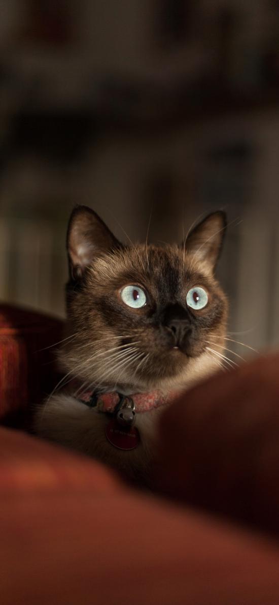 猫咪 宠物 可爱 蓝眼 项圈