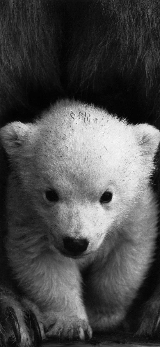 北极熊 小熊 黑白 可爱