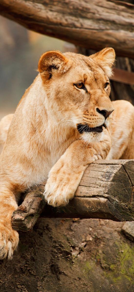 母狮 狮子 木桩 皮毛