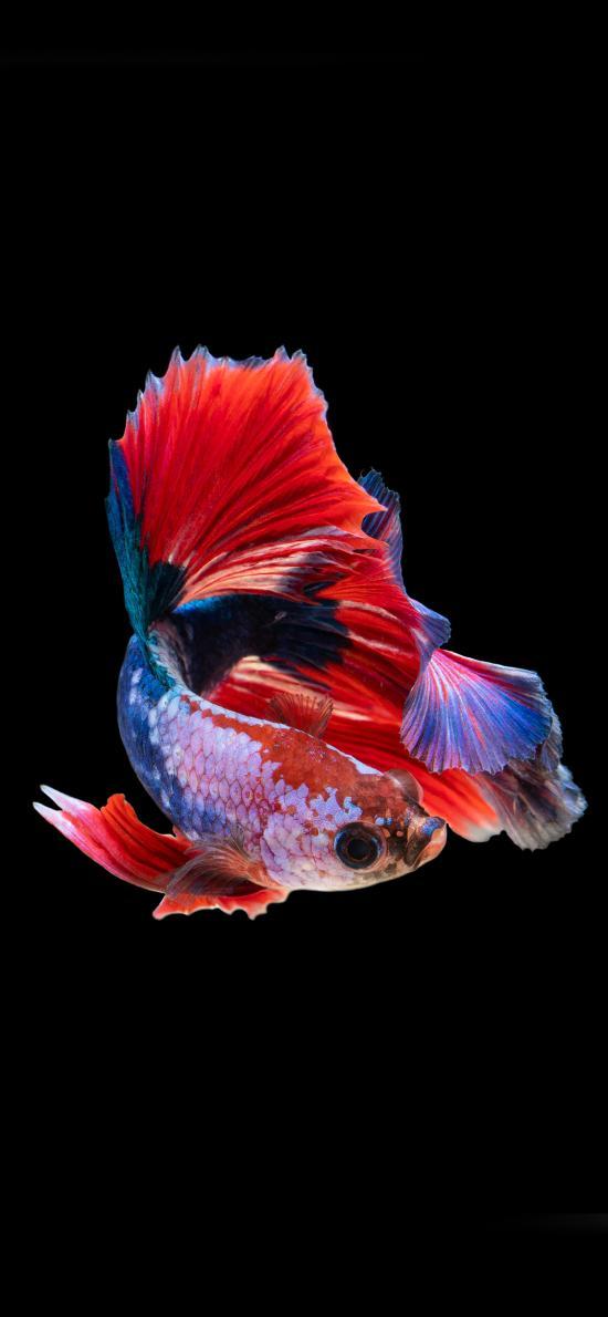 观赏性 热带鱼 斗鱼 鱼鳞 鲜艳