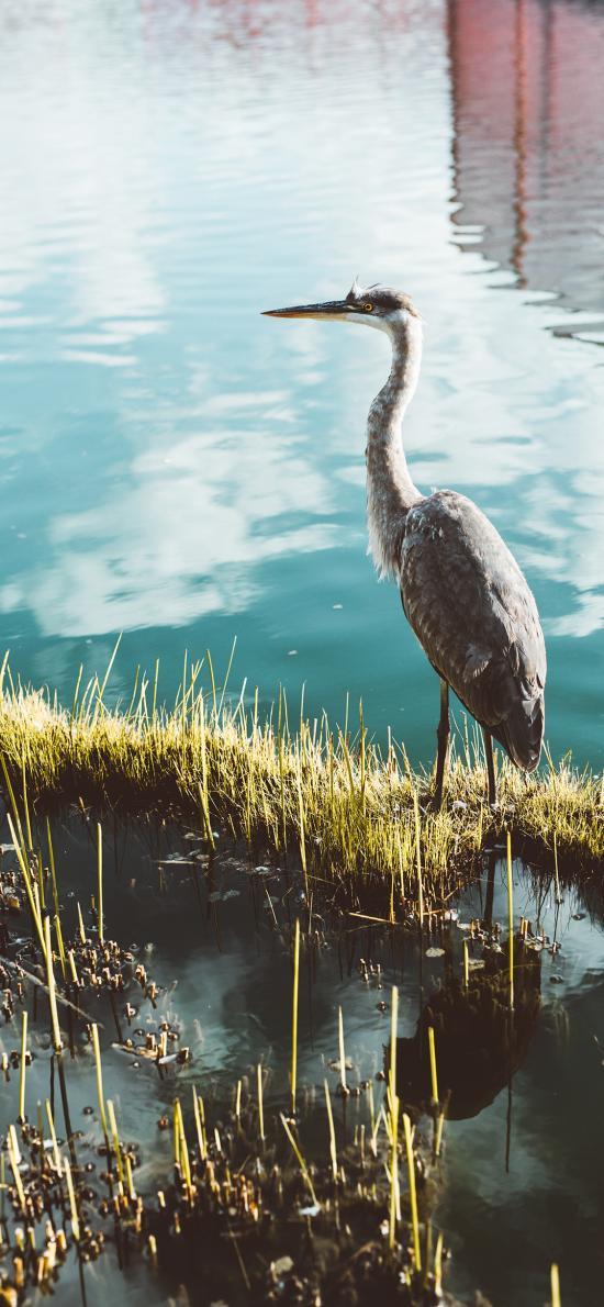 水鸟 水草 湖面 禽类
