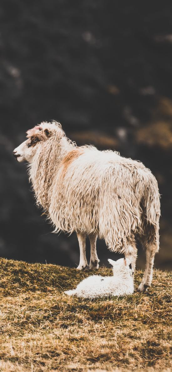 郊外 悬崖 羔羊 小羊崽