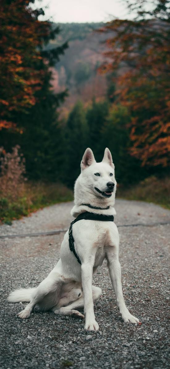 郊外 道路 哈士奇 狗 白色