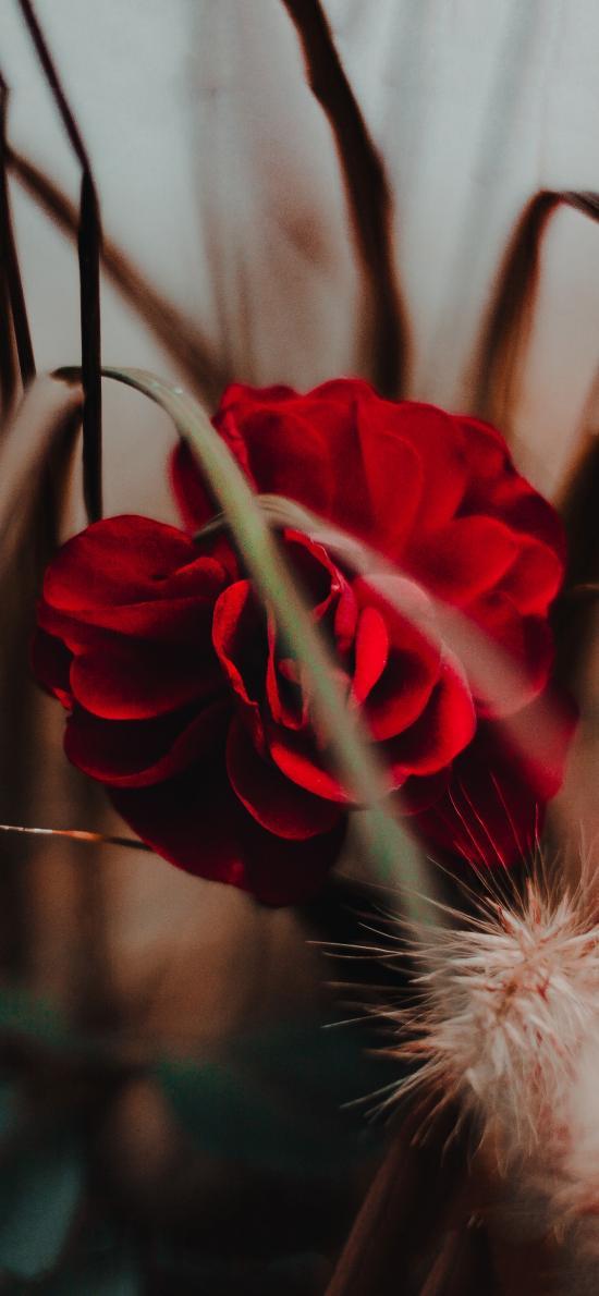 鲜花 红色 绽放 狗尾巴草