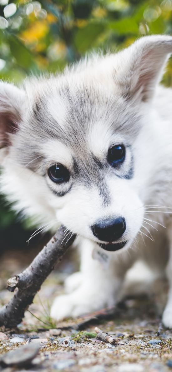 可爱 小狗 哈士奇 幼仔