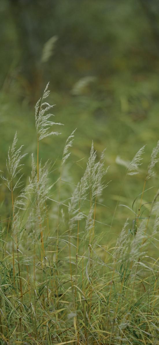 芦苇草 郊外 绿色 大自然