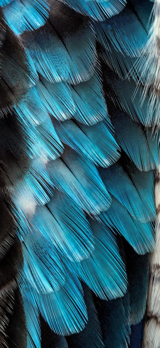 羽毛 鸟羽 黑色 蓝色