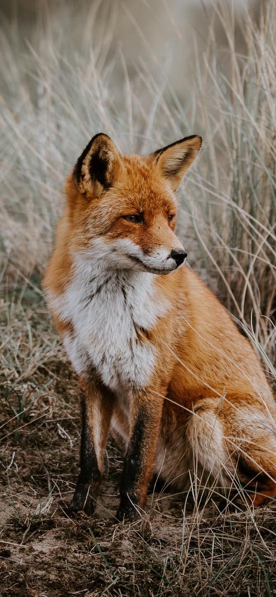 狐狸 野外 杂草 皮毛