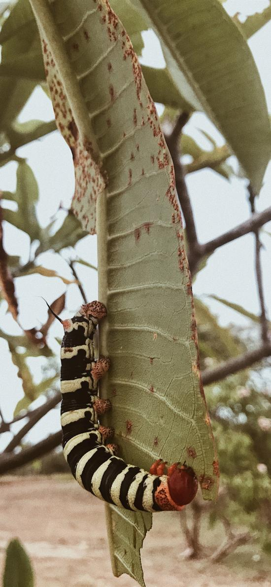 毛毛虫 昆虫 节肢 斑马 黑白 叶子