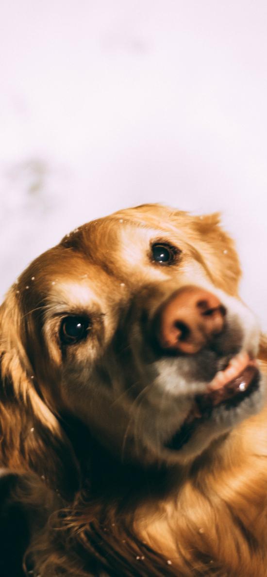 金毛 宠物 犬类 狗