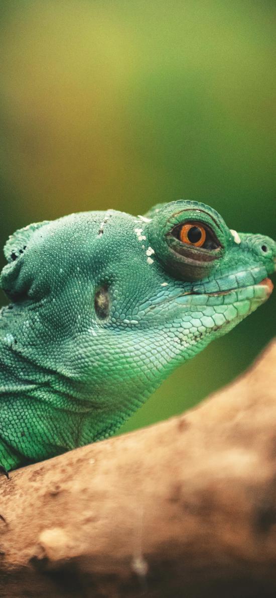变色龙 蜥蜴 爬行 两栖 绿色