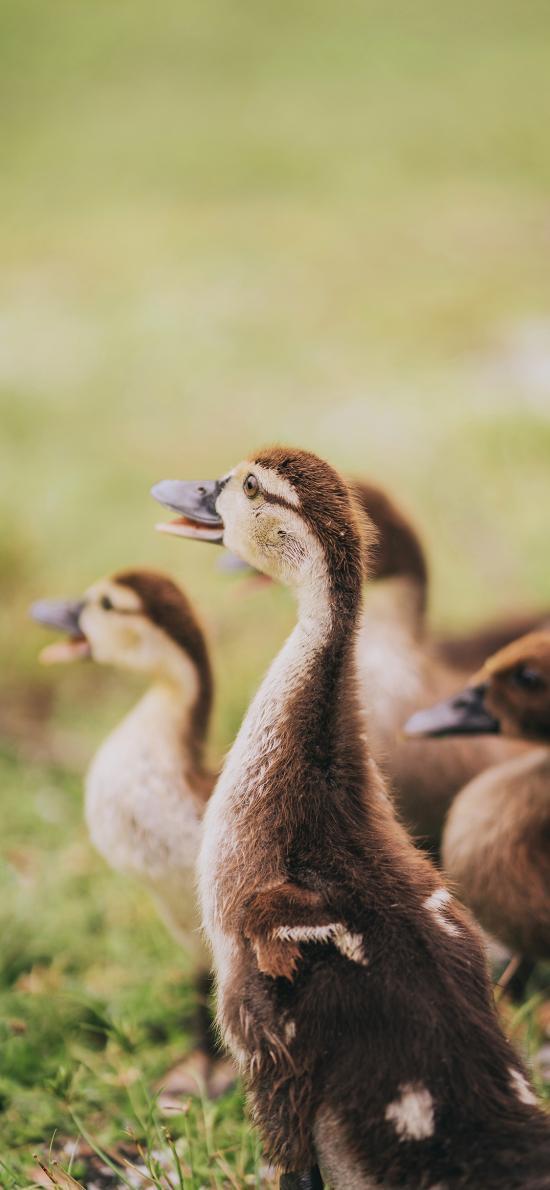 禽类 鸭子 羽毛 草地