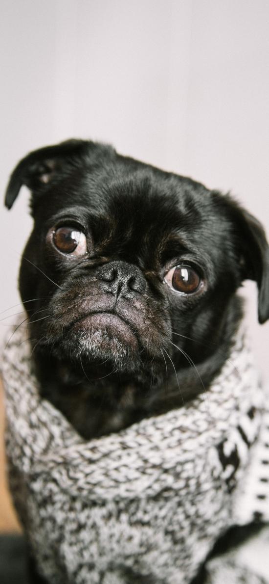 宠物 黑狗 巴哥 毛衣
