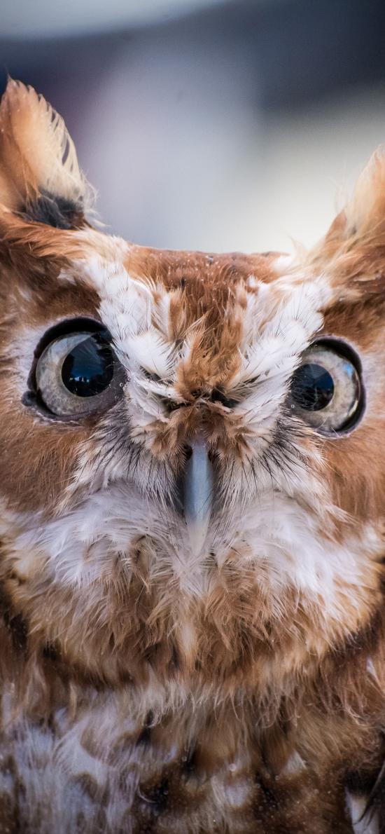 猫头鹰 鸟类 夜视 羽毛
