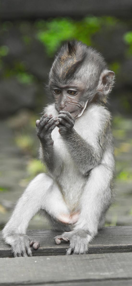 猴子 幼仔 灵长类 小巧 皮毛