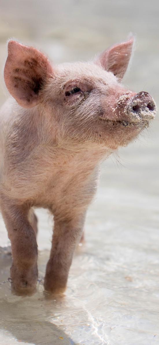 猪仔 海岸 沙滩 猪 禽类